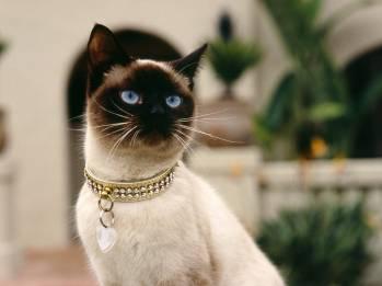 Beautiful-Siamese-siamese-cats-18845591-1600-1200