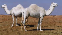 camels_2