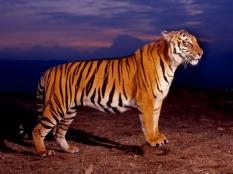 tigru_bengalez-1024x768